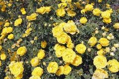 Солнечное желтое Роза цветет Буш Стоковые Фотографии RF