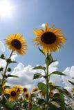 Солнечное поле солнцецвета стоковое фото