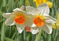 Солнечное дуо narcissus Стоковые Изображения RF