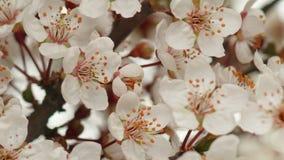 Солнечное утро весны в саде вишни видеоматериал