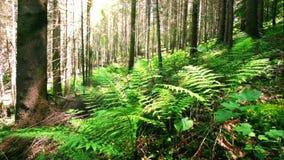 Солнечное утро в глубоком мшистом лесе гористой местности при одичалый завод папоротника растя на прикарпатских горах видеоматериал