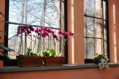Солнечность к красивым орхидеям на окне Стоковое фото RF