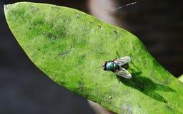 Солнечность на sericata Lucilia Стоковые Фотографии RF