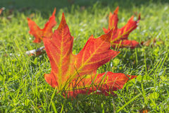 Солнечность приносит упаденный кленовый лист к жизни Стоковое Изображение