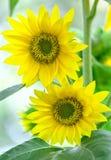 Солнечность 2 солнцецветов совместно весной Стоковое Изображение