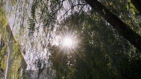 солнечность через листья сток-видео