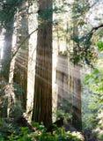 Солнечность через Redwoods Калифорнии Стоковое Фото