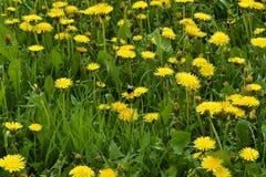 Солнечные желтые одуванчики Стоковое Фото