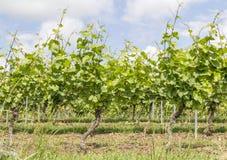 Солнечные заводы виноградного вина стоковая фотография