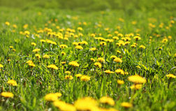 Солнечные одуванчики желтого цвета поля предпосылки весны Стоковые Изображения RF