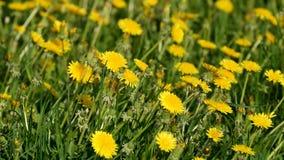 Солнечные одуванчики на зеленой предпосылке поля Стоковая Фотография