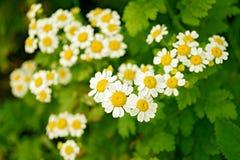 Солнечные стоцветы Стоковые Фото