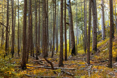 Солнечные лучи в естественном елевом лесе Стоковое Изображение RF