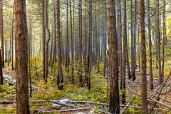 Солнечные лучи в естественном елевом лесе Стоковые Фотографии RF