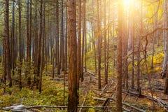 Солнечные лучи в естественном елевом лесе Стоковое Изображение
