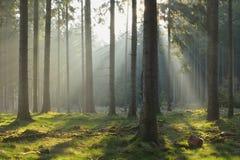 Солнечные лучи в елевом лесе Стоковая Фотография RF