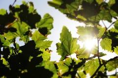 Солнечные лучи через большие листья, запачканные границы Стоковые Изображения RF
