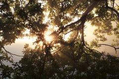 Солнечные лучи через ветвь дуба Стоковое Изображение RF