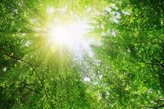 Солнечные лучи льют через деревья в лесе стоковая фотография rf