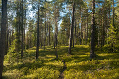 Солнечный день в сосновом лесе Стоковые Изображения RF