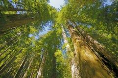 Солнечный день в Redwoods Стоковая Фотография