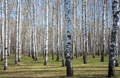 Солнечный лес березы в первых зеленых цветах весны стоковая фотография