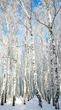 Солнечный лес березы зимы Стоковые Изображения