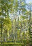 Солнечный лес Aspen Стоковые Фотографии RF