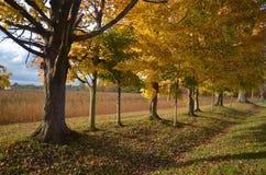 Солнечный свет вечера осени через строку деревьев с золотым полем в предпосылке стоковое изображение