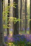 Солнечный свет в лесе с bluebells цветков Стоковые Изображения