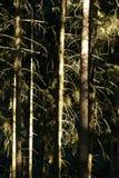 Солнечный свет в елевом лесе Стоковое фото RF