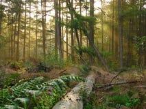 Солнечный свет леса Стоковое Изображение