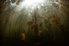 Солнечный свет и пусковые площадки лилии подводные в озере Нов Стоковое Изображение