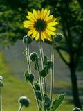 Солнечный свет на солнцецветах Стоковые Изображения