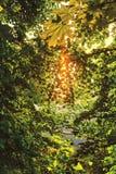 Солнечный свет фильтруя через листья деревьев, на солнечном вечере лета на банках залива Рекы Волга Yurmanskogo (Руси Стоковые Изображения RF