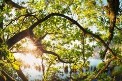 Солнечный свет через ветви дуба Стоковое Изображение
