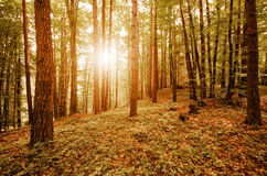 Солнечный свет через деревья в лесе осени Стоковое Изображение RF