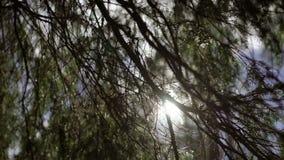 Солнечный свет через ель сток-видео