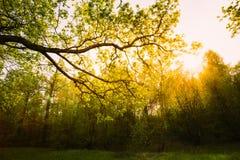 Солнечный свет через зеленую крону дерева - взгляд низкого угла Стоковое фото RF