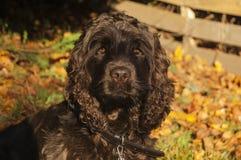 Солнечный свет щенка Spaniel кокерспаниеля Стоковые Фотографии RF