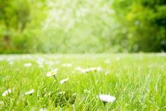 Солнечный луг травы весны с цветками маргаритки Стоковое Изображение RF