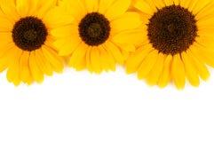 3 солнцецвета на белизне Стоковое Изображение RF