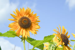 2 солнцецвета на предпосылке неба Стоковое Изображение