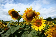 3 солнцецвета Стоковая Фотография RF