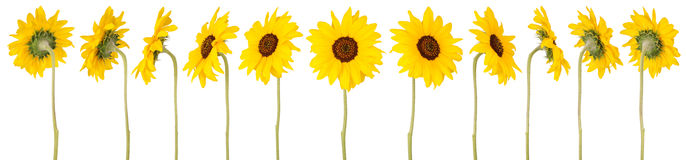 12 солнцецветов Стоковые Фотографии RF