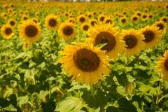 Солнцецветы выдерживая вверх солнце во время летнего времени Стоковые Изображения RF