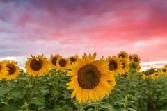 Солнцецветы выдерживая вверх солнце во время летнего времени Стоковое Изображение