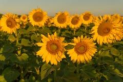 Солнцецветы выдерживая вверх солнце во время летнего времени Стоковая Фотография