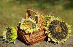 Солнцецветы в корзине Стоковые Изображения