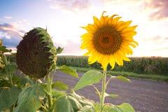 Солнцецветы в поле в после полудня Стоковые Изображения RF